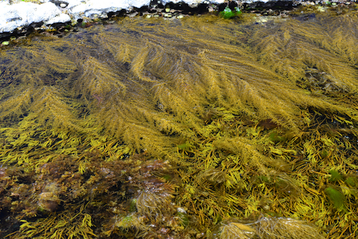 Sargassum muticum in pools in the Burren, Co. Clare, Ireland competing with Bifurcaria bifurcata